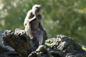 Wildlife and Animals - Baboon — Stock Photo