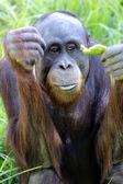 Wildlife and Animals - Orangutan — Stock Photo