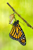 Monarch Butterfly Birth — Foto Stock