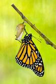Nascita della farfalla monarca — Foto Stock