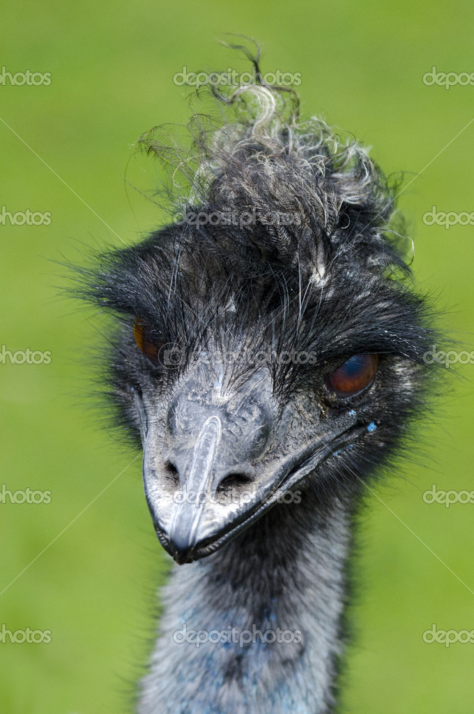 Emu bird portrait. — Stock Photo #10943412