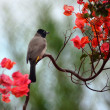 Yellow Vented Bulbul — Stock Photo
