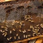 Ula pszczoły — Zdjęcie stockowe