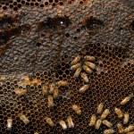 bijen Bijenkorf — Stockfoto