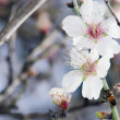 Almond Tree Flowers Closeup — Stock Photo #11116564