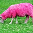 Pink Sheep - Stockfoto