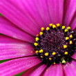 Purple Daisy Flower - Stockfoto