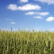 Green Wheat with Blue Sky - Stockfoto