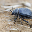 namib desert beetle — Stock Photo