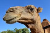 Wildlife Photos - Camel — Stock Photo
