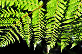 New Zealand Fern — Stock Photo