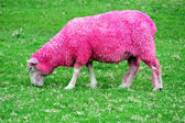 Pink Sheep — Stock Photo