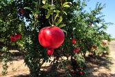 Granaatappel vruchten in israël — Stockfoto