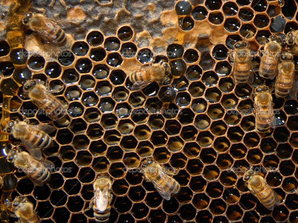 A close up view of working bees in a beehive producing honey on honey cells. — Foto de Stock   #11116198