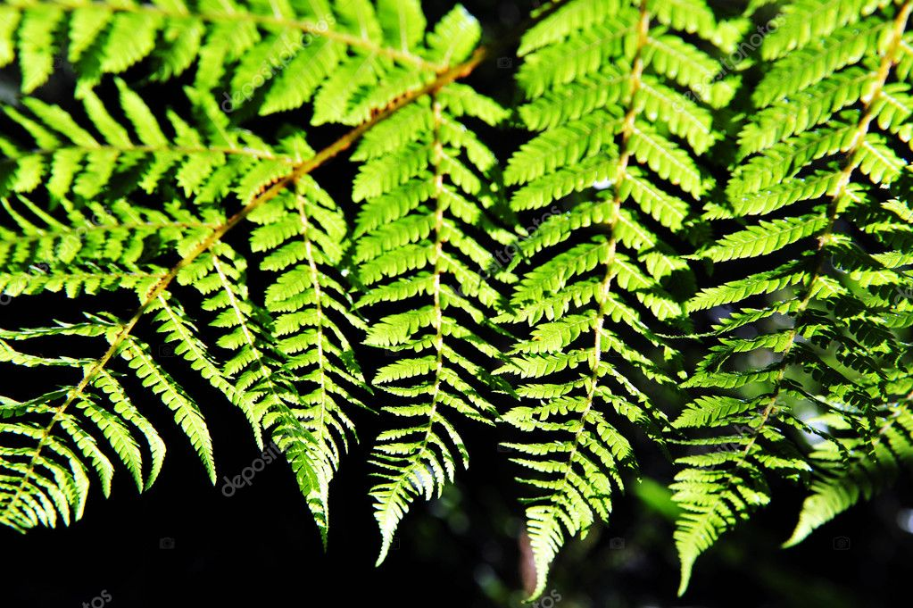 Dicksonia Squarrosa New Zealand Fern — Stock Photo #11116383