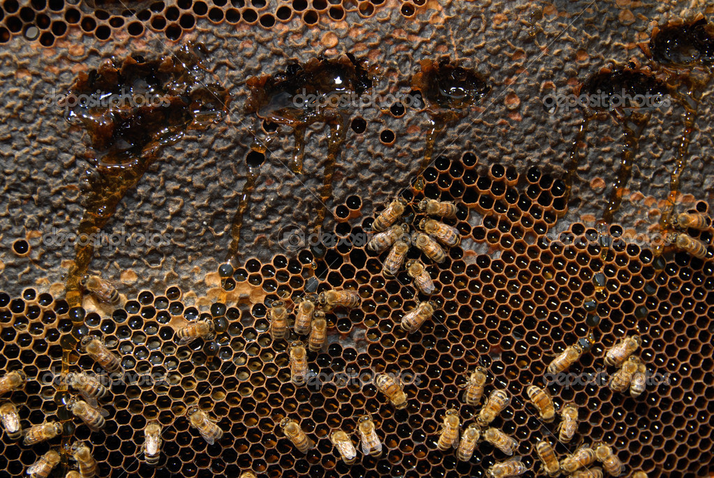 A close up view of working bees in a beehive producing honey on honey cells.  Stock Photo #11116393