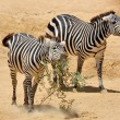 Zebra in Zoo - Stock Photo