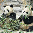 Panda Bears in Beijing China — Stock Photo