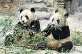 Panda Bears in Beijing China — Stock Photo