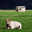 Foto Stock: Old Farm House Bull New Zealand