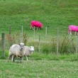 Pink Sheep, New Zealand - Stock Photo