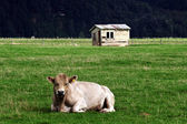 Antigua masía toro nueva zelanda — Foto de Stock