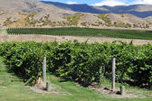 New Zealand Vineyard — Stock Photo