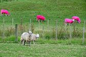 Pink Sheep, New Zealand — Stock Photo