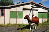 Old Barn and Cows in New Zealand — Stock Photo