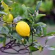 Stock Photo: Lemon tree.