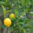 Lemon tree. — Stock Photo #11412030