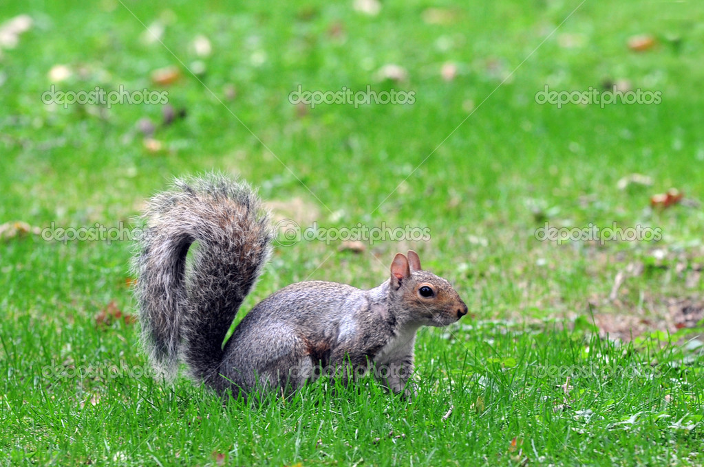 Squirrel in Central Park in Manhattan New York, USA. — Foto Stock #11437582
