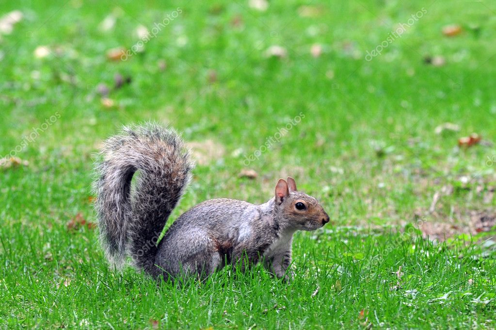 Squirrel in Central Park in Manhattan New York, USA. — Foto de Stock   #11437582