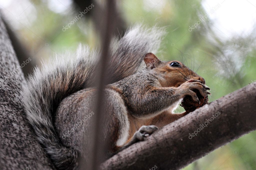 Squirrel in Central Park in Manhattan New York, USA. — Stock Photo #11487127