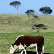 Stock Photo: Dairy cattle