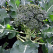 Vegetables - Broccoli Plant — Stock Photo #12139538