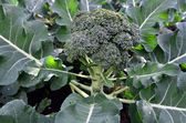 Vegetables - Broccoli Plant — Stok fotoğraf