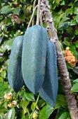 Fruits - Babaco Tree — Stock Photo