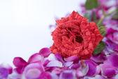Single rose flower above scattered rose petal — Stock Photo