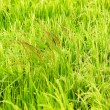 Weeds between rice plant — Stock Photo