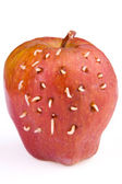 Maggots come out from rotten apple — Stok fotoğraf