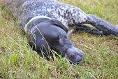 Dog rests in grass field — Stock Photo