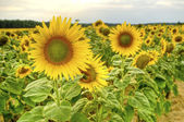 Sunflower field at sunset — Stock Photo