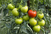 Fresh organic tomatoes — Stock Photo