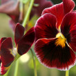 Stock Photo: Dark red pansy flowers backround.