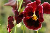 Flores de amor-perfeito vermelho escuro backround. — Foto Stock
