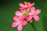 Grasshopper and flower — Stock Photo