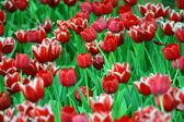 Campo rojo toulips — Foto de Stock