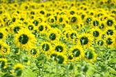 Behind sunflower field — Stock Photo