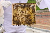 Frame of Bees, Brood and honey — Stock Photo